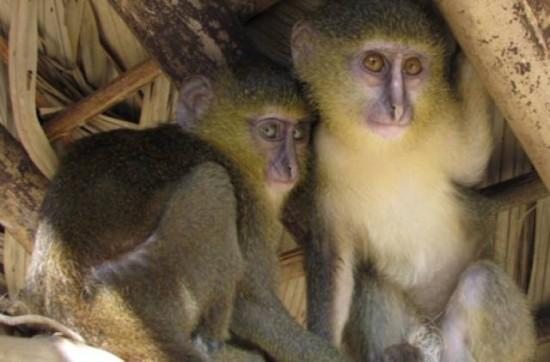 Мартышка лесула (Конго)