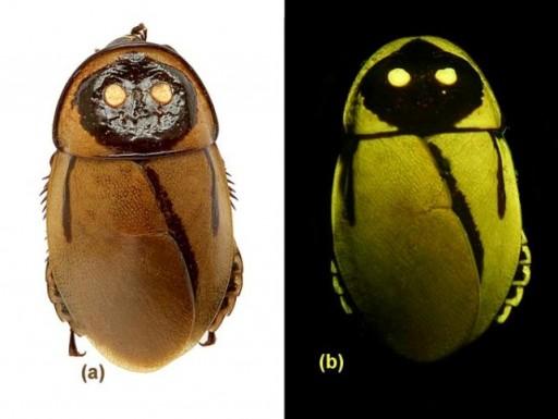 Светящийся таракан (Эквадор)