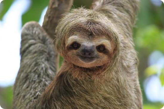 Интересные факты из жизни ленивцев