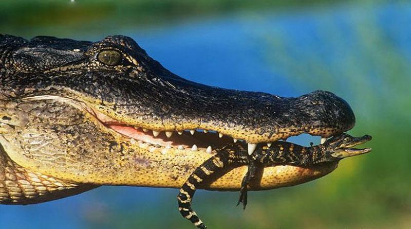 Нежный, как крокодил