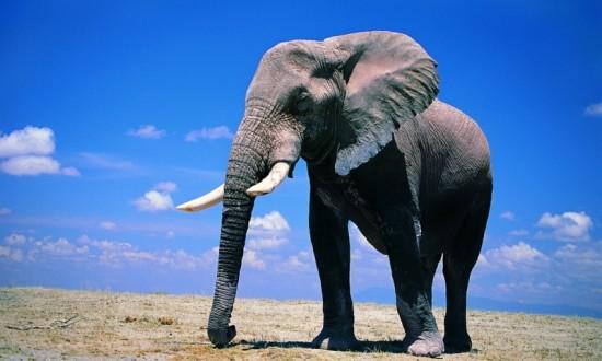 Дела слоновьи