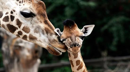 Заботливые мамы детенышей животных