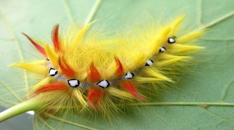 Многие считают, что бабочка – это вершина жизни гусеницы. Однако если присмотреться к маленьким ползучим, то окажется, что они более совершенны, чем их легкокрылая метаморфоза. Большинство бабочек живут всего лишь несколько дней, и их главная задача – дать жизнь новому поколению гусениц. Ну а основная задача новорожденной гусенички – выжить. И ради этого она совершает настоящие чудеса. Например… … ест, в буквальном смысле, не останавливаясь Чтобы выжить, крохе надо максимально быстро набрать вес. Поэтому малышка без разбора тянет в рот листья, молодую кору деревьев, свежие побеги… За несколько недель после рождения гусеница увеличивает свои размеры в десятки раз! … защищается драгоценными нитями Личинкам бабочек нужна защита, да и будущий кокон из чего-то вить надо. Для этого у гусениц есть шелковыделительная железа, расположенная в районе нижней губы. Это своеобразная клейкая слюна, которая, контактируя с кислородом, превращается в прочнейшую нить наподобие паутины. Но гусеница – создание нежное, а потому и нить ее обладает не только прочностью, но и удивительной мягкостью. Этим давно научились пользоваться китайцы: они собирают коконы гусениц тутового шелкопряда, состоящие из непревзойденной шелковой нитки до 1,5 км в длину, «расплетают» их и ткут удивительно нежную гладкую ткань – шелк. … все помнит Американские энтомологи выяснили, что у гусениц неплохая память, которую они сохраняют даже после того, как превращаются в бабочек. Так, в рамках эксперимента маленьких гусеничек ударяли электрическим разрядом, сопровождая его определенным запахом. Когда малыши превратились в бабочек, они избегали этого запаха. … проживает куда более долгую жизнь, чем бабочка Многие гусеницы не успевают превратиться в куколку за одно лето, из-за чего на зиму впадают в спячку, а на следующий теплый сезон снова просыпаются, чтобы есть и продолжать развиваться. Рекордсмен в этом отношении – гусеница из Гренландии, чей жизненный цикл может длиться до 15 лет. … выдерживает огромные перепад