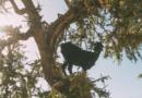 Интересные факты из жизни марокканских коз и об аргановом масле