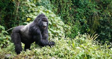 Как отправиться на экскурсию посмотреть на горных горилл в дикой среде