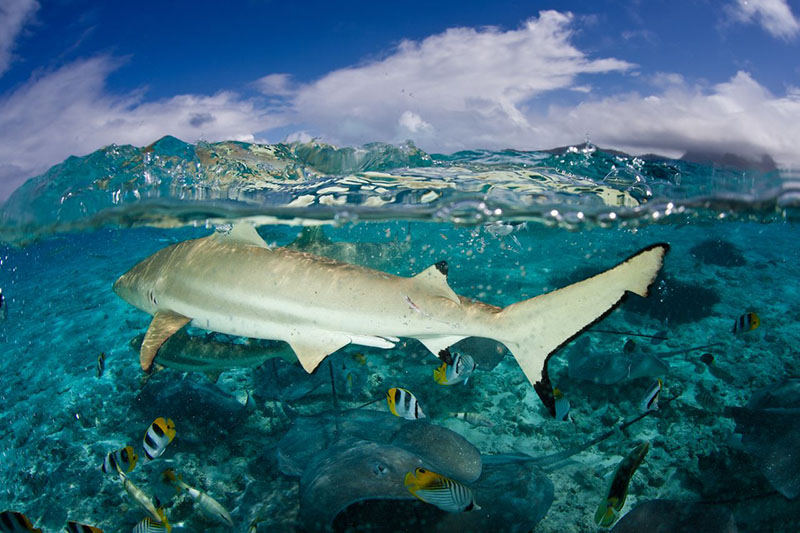 Дружелюбные черноперые акулы