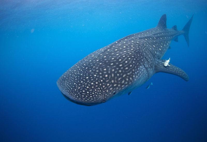 12-метровые китовые акулы