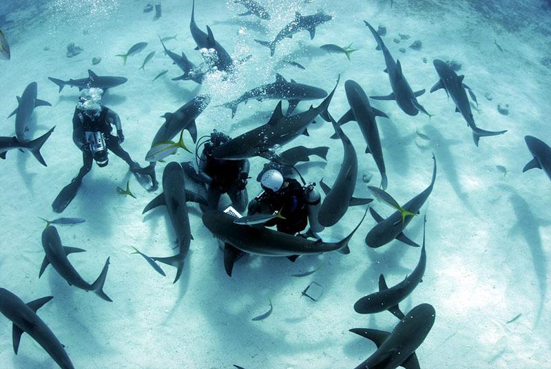 свободно плавать с карибскими рифовыми акулами всего на глубине 10 метров