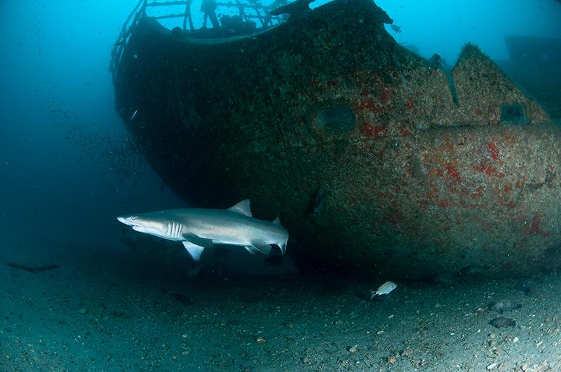 Песчаные тигровые акулы вокруг затонувших кораблей