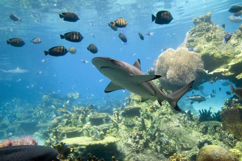 Как серые рифовые акулы атакуют