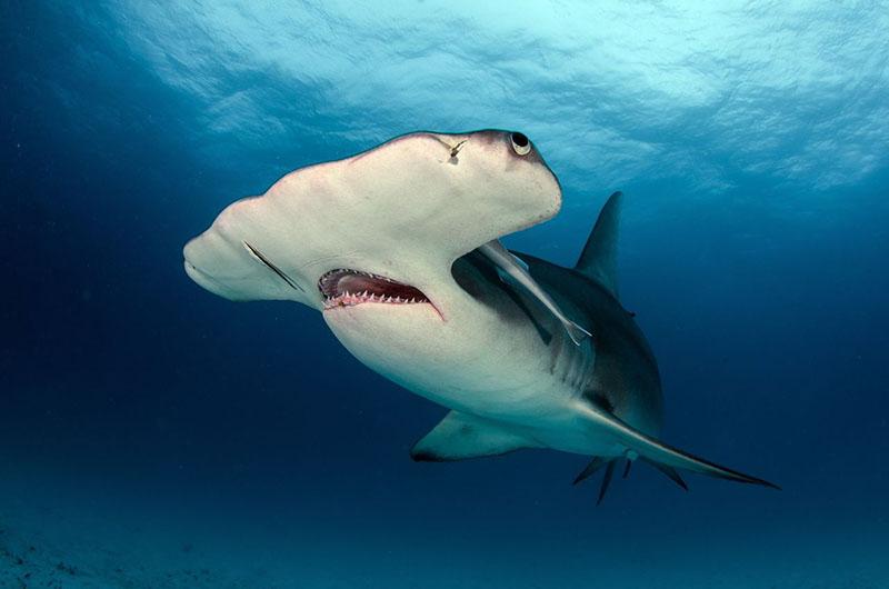 Понырять с акулой-молотом