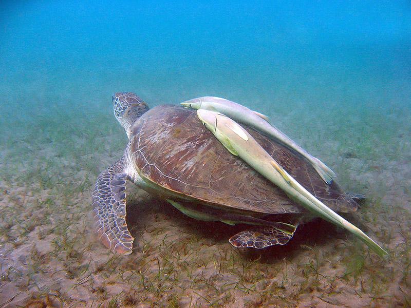 большие морские черепахи, рыбаки травят байки