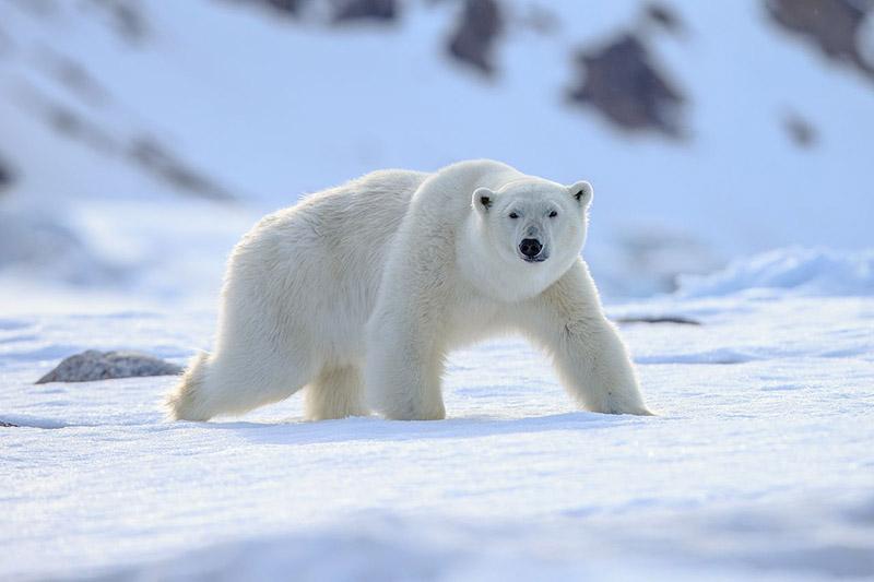 Белый медведь является главным хищником в Арктике