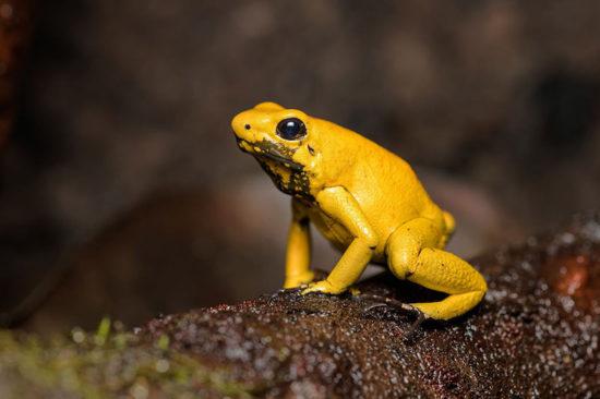 Эта лягушка является самой ядовитой из всех позвоночные на Земле