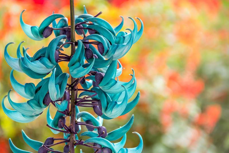 Нефритовая лоза славится своим ярким бирюзовым цветом. Растение родом из тропических лесов Филиппин.