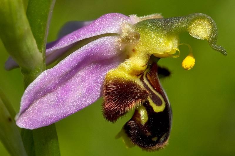 Мастер маскировки, поэтому выглядит как пчела. Этот вид использует мимикрию, чтобы привлечь пчел.