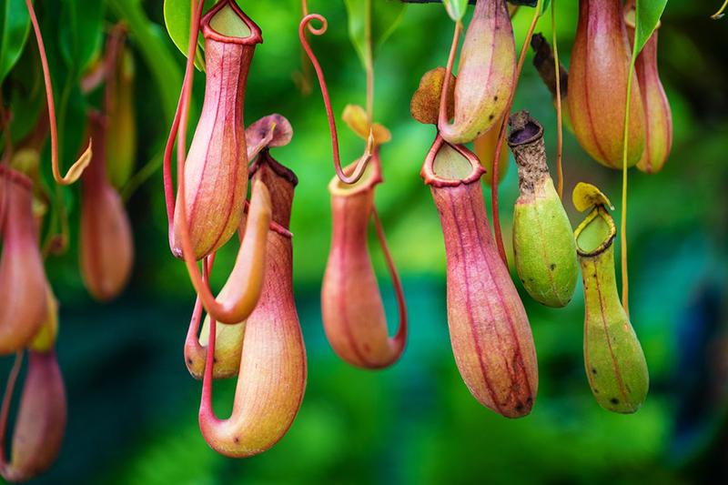 Растения-ловушки, потому что привлекают добычу (мух и насекомых) своей яркой внутренней маркировкой или нектаром, который собирается в их кувшинообразных полостях.
