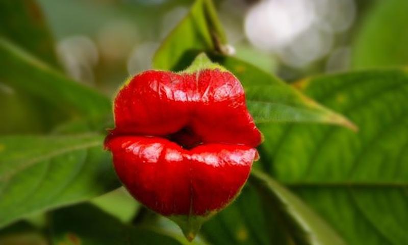 Ярко-красные «губы» на самом деле являются прицветниками, модифицированными листьями, которые растут до того, как цветок созревает, а сам цветок обычно белый.