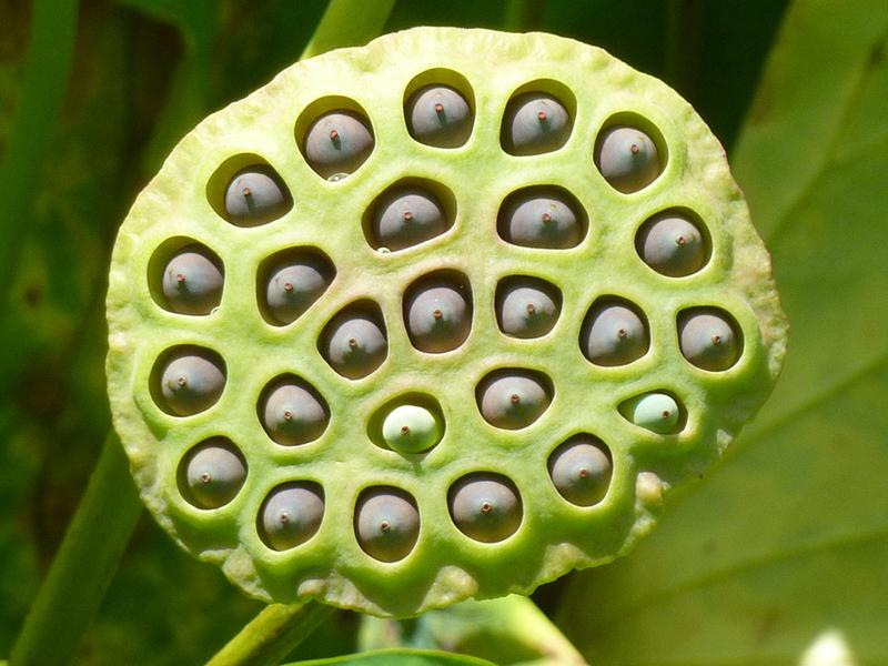 Стручки лотоса немного похожи на головку душа, из отверстий которой вырастают семена.
