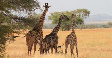 Полезные советы, как сэкономить на африканском сафари, которое также станет вашим поистине уникальным приключением и как осуществить самостоятельное приключение в Африке